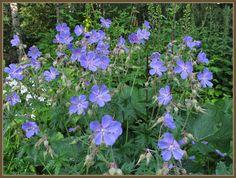 Kyläkurjenpolvi   Geranium pratense   Meadow cranesbill/meadow geranium