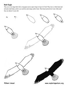 Eagle (Bald) Drawing Lesson