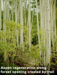 Example of Aspen regeneration along a forest opening created by a trail.