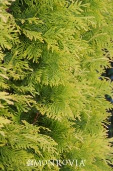 Yellow Ribbon Arborvitae (Thuja occidentalis 'Yellow Ribbon') Great for a living privacy screen Evergreen Trees For Privacy, Evergreen Shrubs, Monrovia Nursery, Exposure Lights, Thuja Occidentalis, Monrovia Plants, Golden Yellow Color, Plant Catalogs, How To Attract Birds