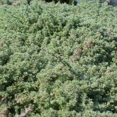 Tomilho lanoso: Thymus pseudolanuginosus | Cantinho das Aromáticas