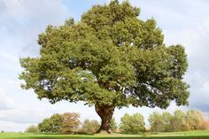 Mighty oak tree in Cheadle Cheshire Oak Tree Diseases, Flooring Companies, Plant Information, Tree Care, Shade Trees, Plant Species, Green Life, Red Oak, Herbs