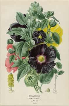 Antique Botanical Print Hollyhock By Edward Step C. 1896 Matted Beautiful Chromolithograph Vintage Wall Decor