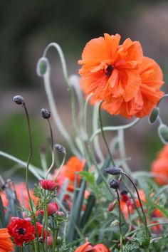 Poppies and Ranuculus