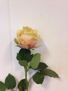 Norsk navn: Rose 'Upper Secret' Botanisk navn: Rosa 'Upper Secret'