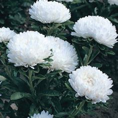 White Saucer Huge Blooming Hibiscus Perennial White Flower 10 Seeds USA Seller