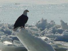 Bald Eagle perches on frozen Lake Erie shove ice, off the south shore of Put-in-Bay OHIO #Birding Dec. 16, 2013