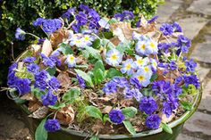 Shades of blue for a spring pot: Sarah used 6 pots Primula 'Tie Dye',12 pots Primula 'Belarina Cobalt Blue'. The main container is 18in wide and 14in deep with lots of moss and dried oak leaves scattered in between the plants - Sarah Raven