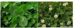 Trébol blanco: (Trifolium repens). LEGUMINOSOS DE CLIMA FRIO