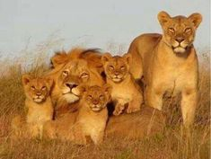 I Can Haz Collaboration Lion Images, Lion Pictures, Animal Pictures, Cute Funny Animals, Cute Baby Animals, Animals And Pets, Lion Love, Cute Lion, Lioness And Cubs