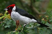 Masked cardinal (Paroaria nigrogenis)