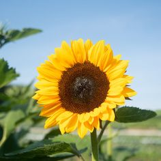 Improved earliness in the classic orange sunflower. Even earlier than ProCut Orange by days. Single-stem plants have tall, strong stems and . All Flowers, Dried Flowers, Fresh Flowers, Orange Sunflowers, Succession Planting, Seed Catalogs, Types Of Soil, Sunflower Seeds, Garden Planning