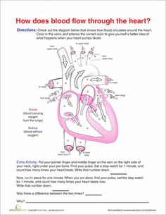 Worksheets: How Does Blood Flow Through the Heart?