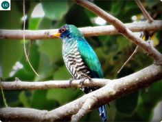 "https://www.facebook.com/WonderBirdSpecies/ Asian emerald cuckoo (male)(Chrysococcyx maculatus); Indian Subcontinent, China and Southeast Asia; IUCN Red List of Threatened Species 3.1 : Least Concern (LC)(Loài ít quan tâm) <("") Tìm vịt lục bảo châu Á/Tìm vịt xanh (trống); Tiểu lục địa Ấn Độ, Trung Hoa và Đông Nam Á; HỌ CU CU - CUCULIDAE (Cuckoos)."