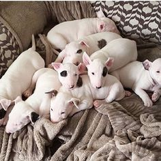 Delicia da noite😍 #bullterrierlovers #bullterrier #1bullterrier #instagram #instadog #instalove #cut #dog #pet #vida #amordacasa #amordepatas #bullterrierpics #bullie #bullterrierinstagram #bullterrierlove #dogs #bullterrierstyle #bullterrierlife #puppy #bullterrierpuppy #englishbull #Raça #ingles #englishbullterrierpuppy #ilovedogs #babys #ebt