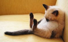 Funny Siamese Cat Wallpaper Desktop Wallpaper
