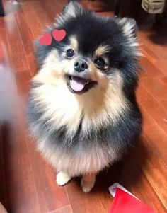 Good Boy 🐕 Pomeranian puppy that belongs to BTS's Taehyung Cute Funny Animals, Cute Baby Animals, Funny Dogs, Animals And Pets, Bts Dogs, Cute Dogs And Puppies, Super Cute Puppies, Yorkie Dogs, Doggies