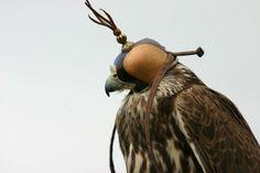 falcon_in_hood.jpg 800×533 pixels