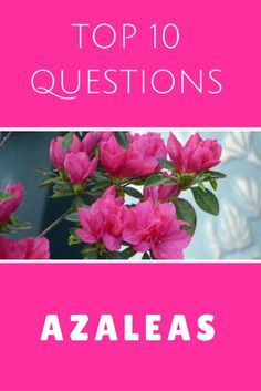 Top 10 Questions About Azalea Bushes - Gardening Know How's Blog