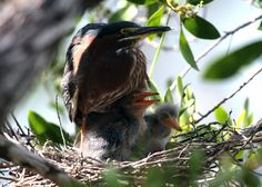 Baby Green Herons Wildlife Photo Note Card - Wildlife Photo Nature Photography - Mama Green Heron Protects her two chicks in nest by WingHillPhotos on Etsy
