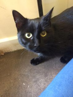 Young, female cat brought to Bleakholt on the 27/11/16. She has been a stray in Rossendale for close to a week and is not microchipped. She is friendly, and a little skitty, but appears to be healthy. Please share to try and reunite with owner.