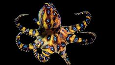 There are poisonous creatures and then there are 'so poisonous that this has to be a joke' level creatures. The Blue Ringed Octopus is a gorgeous little sea creature that is roughly the size of a large gum ball. With mesmerizing purple markings it is easy to forget how deadly the creature actually is. A full grown adult has enough venom in its body to kill 26 adult humans. There is no anti venom. Within minutes of getting stung you will become paralyzed and then progress to becoming…
