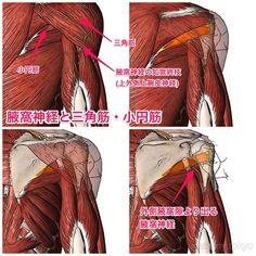 腋窩神経と三角筋・小円筋