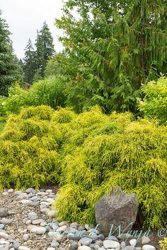 Conifers, cypress - Chamaecyparis pisifera 'Golden Mops'. Cyprysik groszkowy 'Golden Mops'