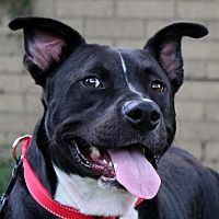 Pictures of Benny ~ SWEET ~ meet me! a Pit Bull Terrier for adoption in Southbury, CT who needs a loving home.