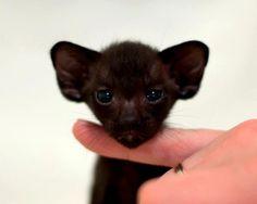 Black Kittens, Fox, Cats, Animals, Gatos, Animales, Animaux, Animal, Cat