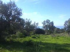 Olive Grove in the Marbella  Camp. Stunning
