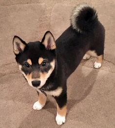Kona the Shiba Inu Pictures 1051355 Akita Puppies, Shiba Puppy, Dogs And Puppies, Cute Puppies, Cute Dogs, Cutest Dog Ever, Types Of Dogs, Shiba Inu Black, Japanese Dogs