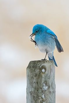 Mountain bluebird, Alberta, Canada
