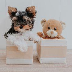 """Denver The Dog on Instagram: """"Hola !! Pues aquí estoy con mi colega el osito, que me gusta meterme en cualquier cesta 😉#biewerterrier #puppylove #perrosdeinstagram"""" Denver, Terrier, Teddy Bear, Toys, Animals, Instagram, I Like You, Hampers, Activity Toys"""