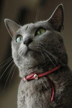 Cat:Russian Blue / ネコ:ロシアンブルー Skull collar