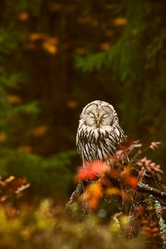 marjoleinhoekendijk: owlsday: Ural Owl ☽♡☾ Pagan, Viking, Nature and Tolkien things ☽♡☾ Beautiful Owl, Beautiful Forest, Animals Beautiful, Cute Animals, Wild Life, Owl Tumblr, Photo Animaliere, Owl Pictures, Barn Pictures