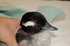 A female Bufflehead at International Bird Rescue.