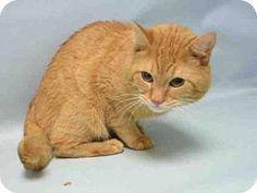 Brooklyn, NY - Domestic Shorthair. Meet FELIX, a cat for adoption. http://www.adoptapet.com/pet/16714685-brooklyn-new-york-cat