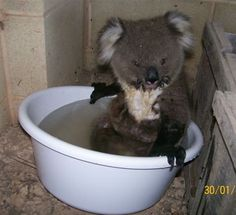 I don't know who this photo belongs to but it's adorable. The story goes that this little guy wandered into someones laundry under the house during a heat wave and just wanted to cool down. (Koalas don't usually take baths and people can't keep them as pets so the story is quite believable)
