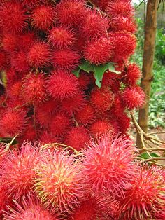rambutan. sweet asian pom-poms with a mildly poisonous seed.