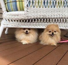 Pomeranians!!! oh my god the cuteness!!