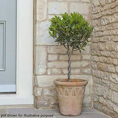 """Bay Trees are the simplest way to add a touch of elegance to you home and harden. They're perfect stood either side of a doorway as a """"hello and welcome""""! Did you know you can also use the leaves in cooking? Kill two birds with one stone... #baytree #bay #gardendecor #gardening #formalgardening #instantimpact"""
