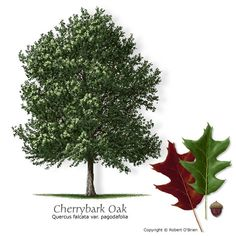 Cherrybark Oak // Nice, tall native Texas oak. Good shade tree, great for wildlife, shade.
