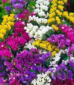 500 Seeds  Statice SeedsMix Lavender Blue Rose Sky Blue ApricotYellow * You can get additional details at the image link.