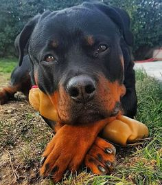 It's not true that They are dangerous! It alaways depends on owners Cutty Rottweiler . Cute Baby Dogs, Cute Baby Animals, Cute Puppies, Dogs And Puppies, Funny Animals, Large Animals, Beautiful Dogs, Animals Beautiful, Rottweiler Breed