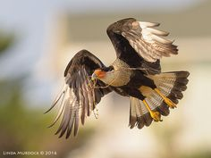 caracara, nikon, bird photography, birds, Crested caracara