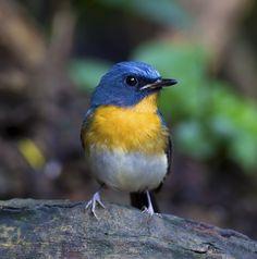 Tickell's Blue Flycatcher ( Cyornis tickelli )