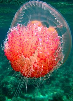 Floating Mouth-a jellyfish is essentially a floating mouth and digestive system. The jelly takes food in through its mouth and is digested in a sac-like structure which is located on the underside of its bell.