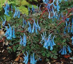 """Corydalis curviflora var. rosthornii Blue Heron (Corydalis)  Hardiness Zone: 6-8 S / 6-8 W  Height: 8""""  Fragrance: Yes  Exposure: Full or Part Shade  Blooms In: May-Oct  Spacing: 12""""  Ships as: 3"""" Plastic Pot - 25.8 cu. in."""
