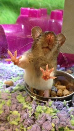 badajinju's photo: Rattie at the pet store!  #hitmewithyourbestpaw
